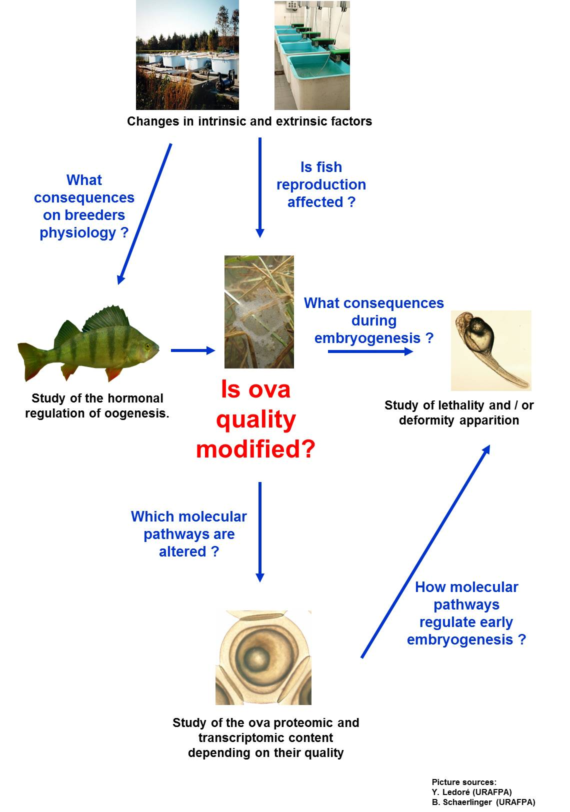 Freshwater fish life cycle - Neuroendocrinology And Physiology Of Fish Life Cycles Research Unit Biology Of Aquatic Organisms And Ecosystems Borea Sorbonne Universit S Cnrs